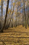 Footpath In The Landscape Reserve Teply Stan, Covered With Fallen Yellow Leaves. Sunny Day In Octobe poster