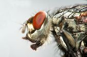 Macro view of housefly