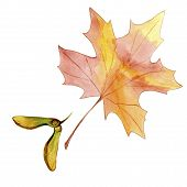 Hand Drawn Watercolor Colorful Maple Fall Leaf And Winged Seeds Maple Tree Isolated On White Backgro poster
