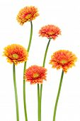Vertical orange gerbera flowers with long stem isolated on white background. Spring bouquet. poster