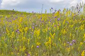 Blooming Meadow, Wild Herbs And Flowers On A Summer Meadow, Yellow Purple Violet Flowers And Green G poster
