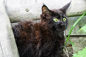 Little Black Kitten Maine Coon Breed In The Yard. Scared Kitten poster