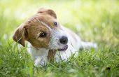Healthy Happy Jack Russell Terrier Pet Dog Puppy Chewing Bone For Cleaning Teeth poster