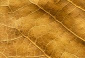 Close up of dry poplar leaves for a background.Dry leaf background. Yellow leaves pattern.Autumn yel poster
