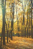 Autumn park -  Maple trees and yellow fallen leaves poster