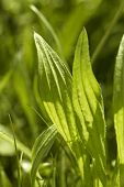 foto of ribwort  - detail of some sunny illuminated green ribwort plantain leaves