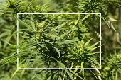 Mature Marijuana Plant With Bud And Leaves. Texture Of Marijuana Plants At Indoor Cannabis Farm. Can poster