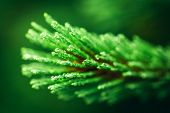 Green coniferous tree close-up. Water drops after rain. Evergreen conifers poster