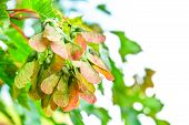 Common Maple Seeds In Sunny Day On Blurred Background. Macro View Of Maple Fruits poster