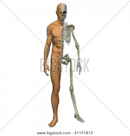 A 3d human male anatomy with muscles and bones or skeleton isolated on white background