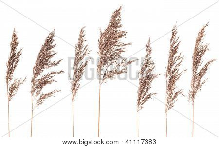 Seven Dried Bush Grass Panicles