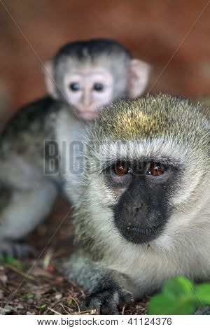 Vervet Monkey & Baby