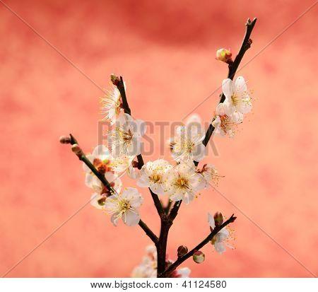 white plum bloossom