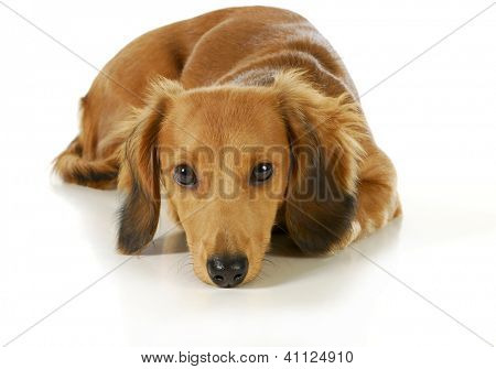 miniature dachshund with head down resting isolated on white background