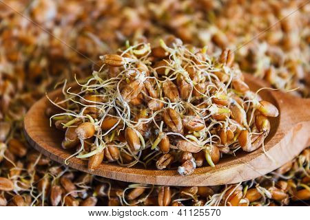 The Grain Sprouted Wheat Closeup