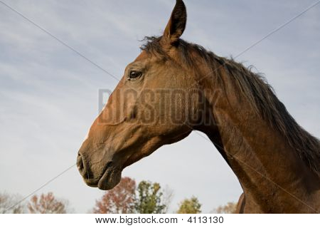 Dutch Warm Blood Horse
