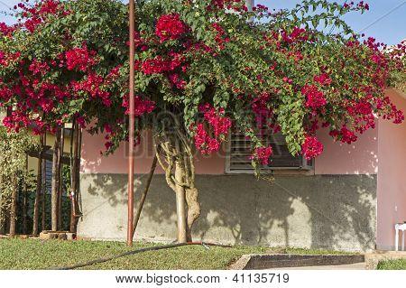 Tall Bougainvillea flower tree