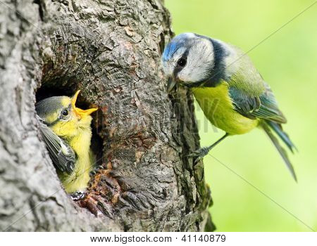The Blue Tit (Cyanistes caeruleus) feeding her young one. Picture with shallow DOF.