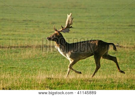 Fallow Deer Running