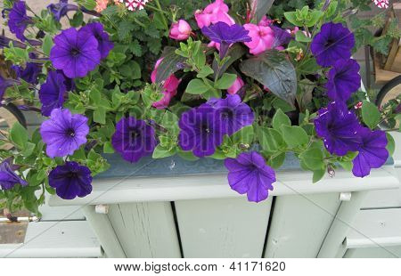 Peatunias in the  flower box