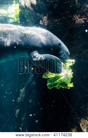 Manatee (sea Cow) Eating Salad