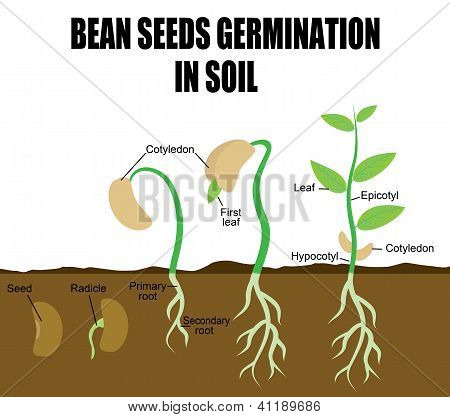 Sequence Of Bean Seeds Germination