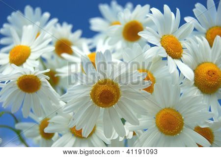 Camomile flowers against blue sky