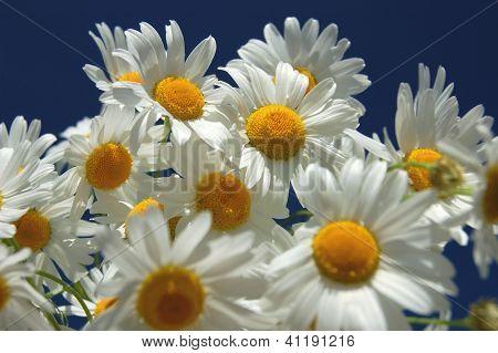 Chamomile flowers against blue sky
