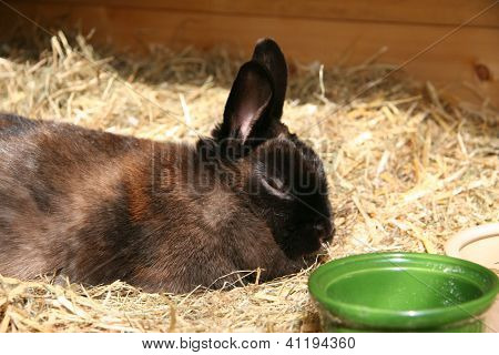 Dwarf Rabbit Totally relaxed in the British summer sun