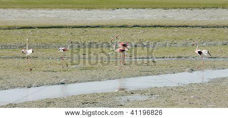 Flamingos during low tide