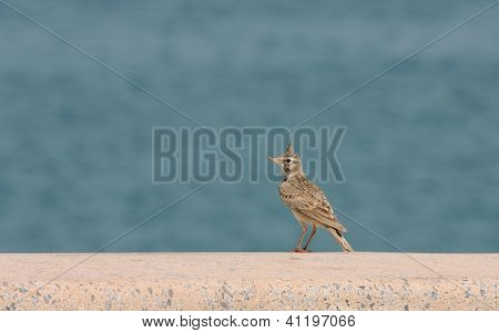 A beautiful crested lark