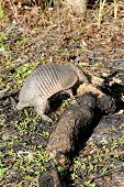 picture of armadillo  - Armadillo in the forest routing through a burnt log - JPG