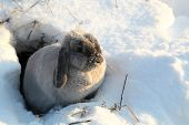stock photo of rabbit hole  - The gray rabbit looks out of a hole in the winter - JPG