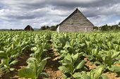 picture of tobacco leaf  - Tobacco plantation on Cuba with drying house