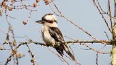 stock photo of blue winged kookaburra  - beautiful Kookaburra  - JPG