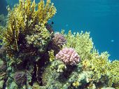 pic of fire coral  - coral reef with hard and fire coral at the bottom of red sea in egypt  - JPG