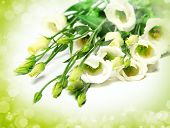 pic of tuberose  - delicate flower on a white background - JPG