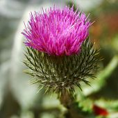 picture of reign  - The thistle has been the national emblem of Scotland since the reign of Alexander III  - JPG