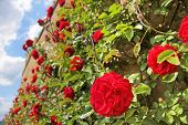 picture of climbing rose  - Roses on old wall at Palace Johannisberg in the Rheingau Hesse Germany - JPG
