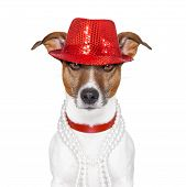 picture of queer  - funny and crazy looking dog with fancy red hat and big perls collar - JPG