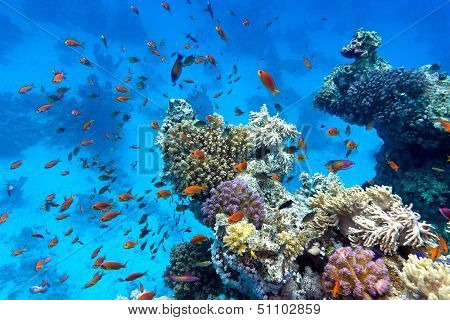 coral reef with soft and hard corals with exotic fishes anthias on the bottom of tropical sea on blu