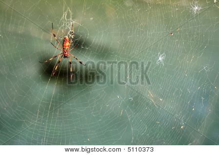 Bannana Spider On A Web