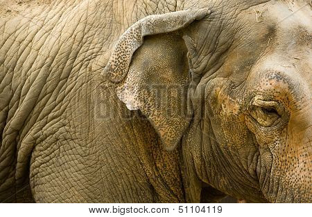 Close Up Of Elephants Head