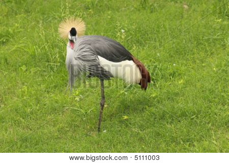African Crowned Crane Too