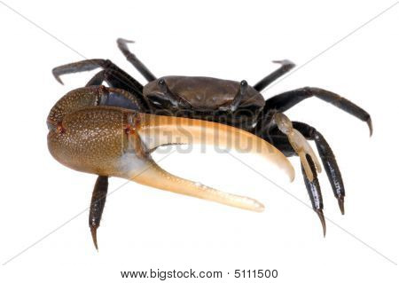 Agressive Crab From Front