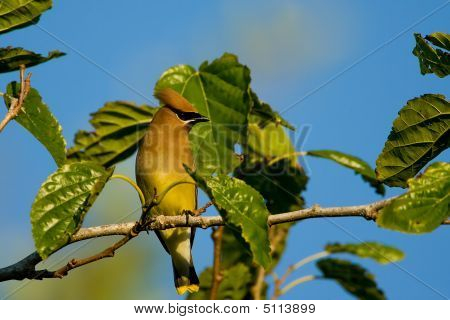 A Cedar Waxwing Perched High Up In A Mulberry Tree