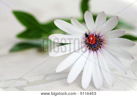 Ladybug On Daisy Flower. Macro Close-up, Shallow Depth Of Field