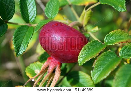 The ripe berries of a dogrose