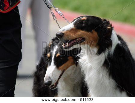 Borzoi Show Dogs