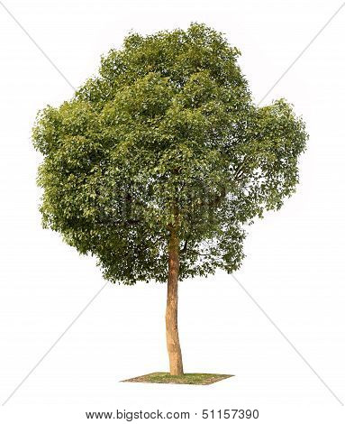 Small Camphor Tree